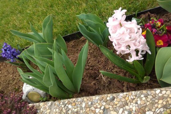 tulipan-kert-110D42815D2-258F-98ED-E4AE-E4F56B9A352B.jpg